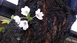 20120412 / お気に入りのさくらの木