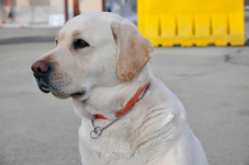 盲導犬と似た子