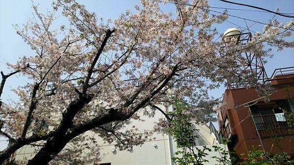 地元の桜(その2)