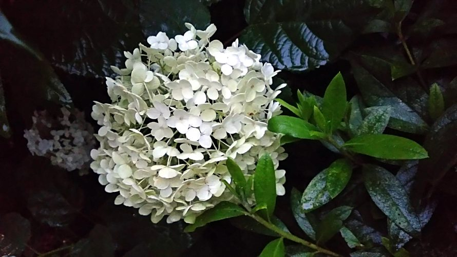雨に濡れた紫陽花(アナベル)
