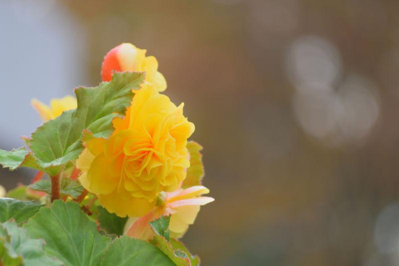 黄色い花を咲かすベゴニア