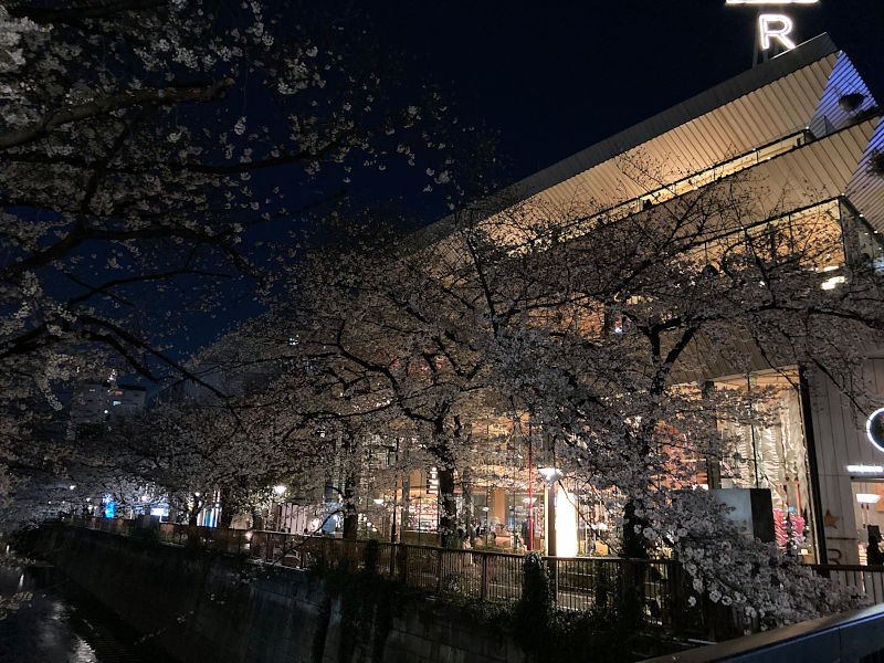目黒川のスターバックスをバックに夜桜を観る