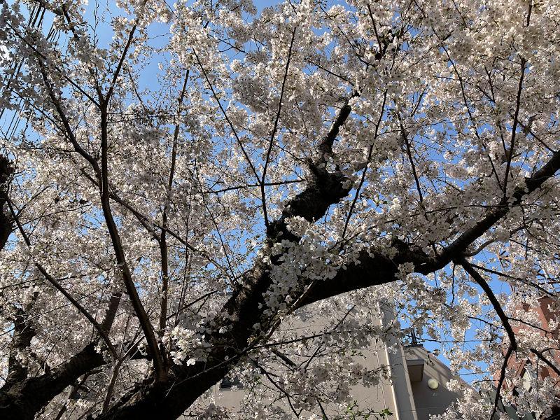 毎年撮影している地元の桜